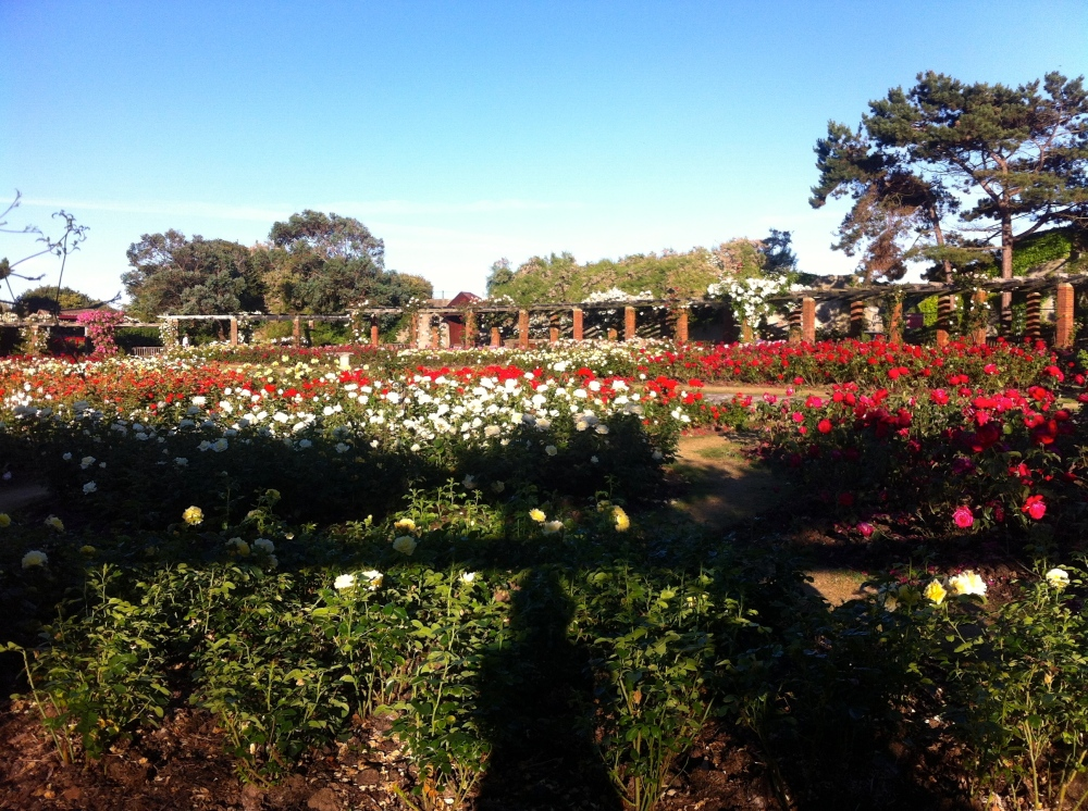South sea Rose Garden